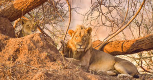 lion and lioness, wildlife, South Africa