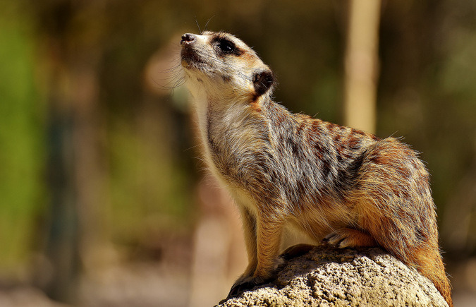 meerkat, wildlife, South Africa