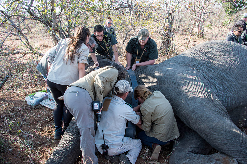 Conservation efforts by a team to help an elephant