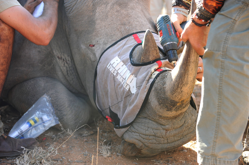 Putting a tracking micro chip in a rhino's horn