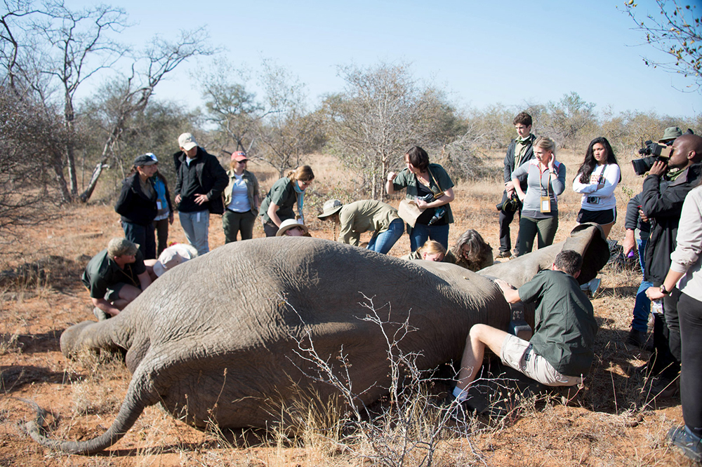 Conservation team helping an elephant