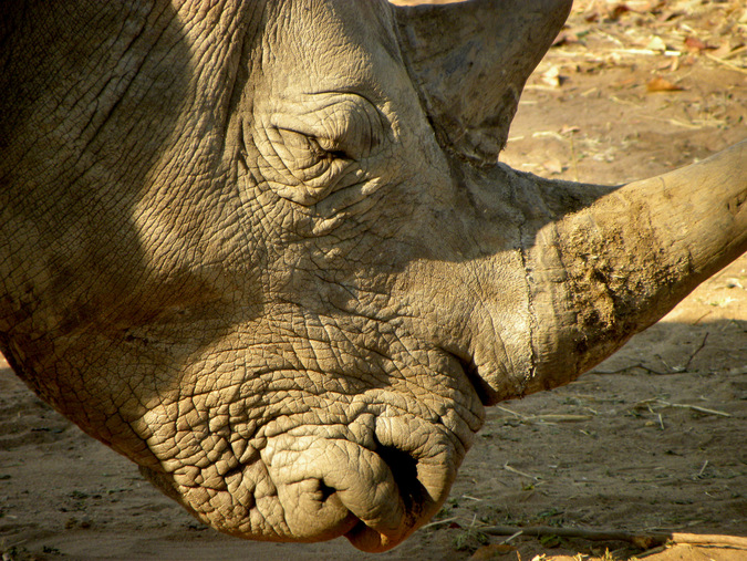 An up close photo of a rhino while on safari © Mark Smeltz