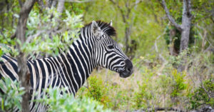 A zebra in the Kruger National Park in South Africa