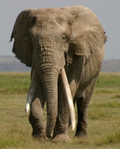 Giant elephant Little Male Amboseli Kenya © Amboseli Trust for Elephants