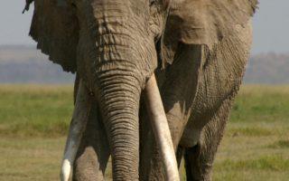 Giant elephant Little Male Amboseli Kenya © Amboseli Trust for Elephants