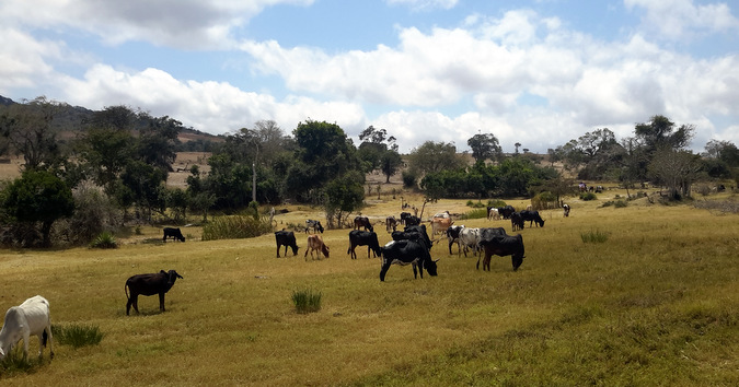 Maasai cattle grazing in the Tanzania Steppe