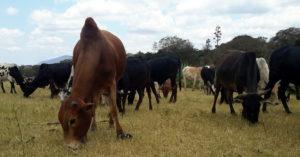 Maasai cattle grazing © Stephanie Fuchs