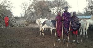 Maasai warriors and their cattle © Stephanie Fuchs