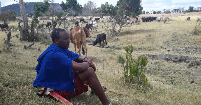 A Maasai warrior watches over the cattle grazing