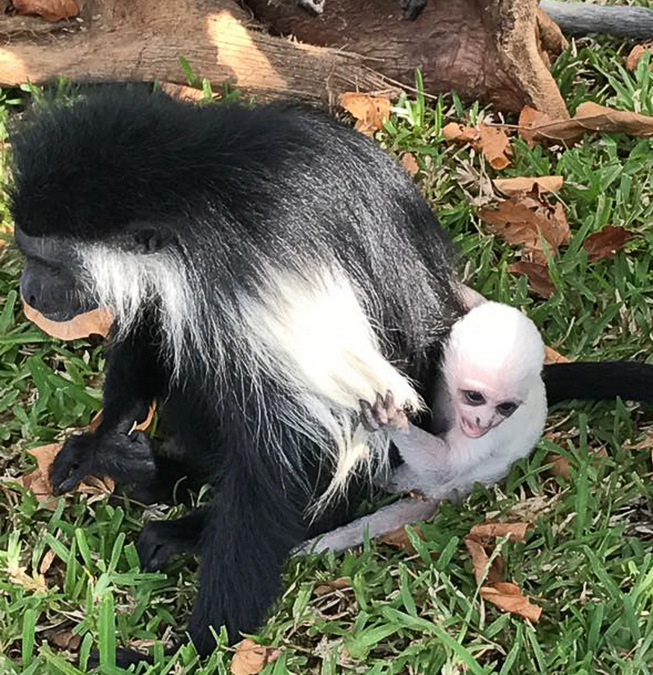 Black-and-white colobus baby with mother