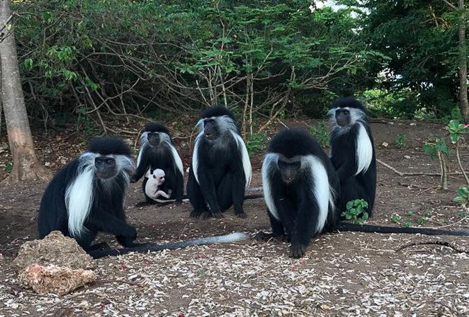 Group of colobus monkeys