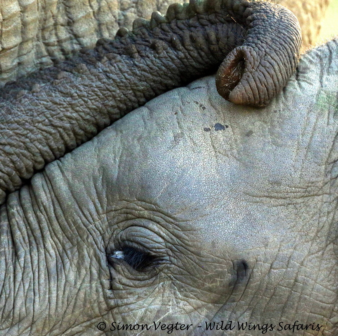 Up close of a baby elephant and its trunk