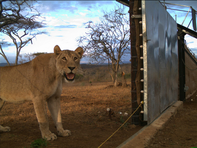 A lioness is caught on a camera during the release into Somkhanda Game Reserve, KwaZulu-Natal, South Africa