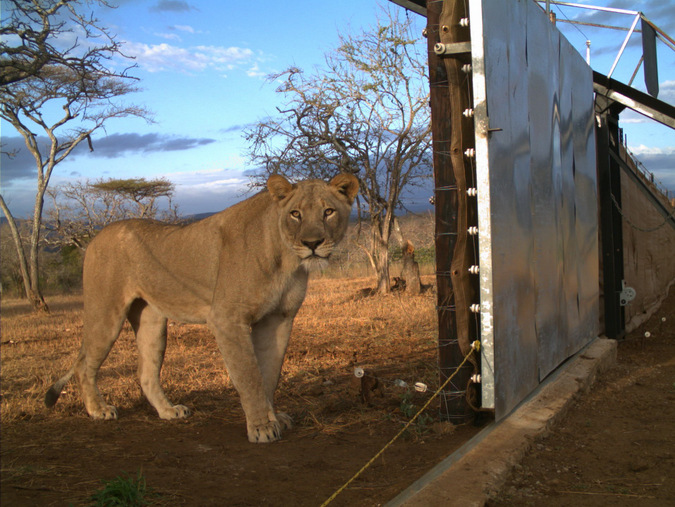 A second lioness gets caught on a camera trap during the release into Somkhanda Game Reserve, KwaZulu-Natal, South Africa