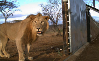 A lion is caught on a camera during the release into Somkhanda Game Reserve, KwaZulu-Natal, South Africa