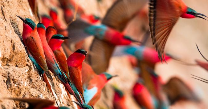 Carmine bee-eaters taking flight