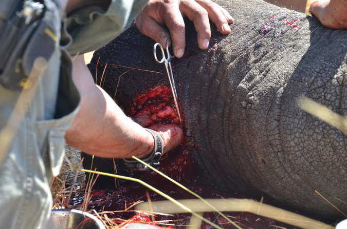Emergency surgery for Benny the elephant © Water for Elephants Trust