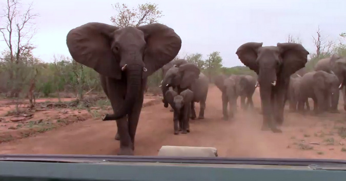 Screenshot from a video of elephants mock charging a vehicle