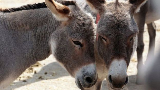 Donkey population crisis in Africa