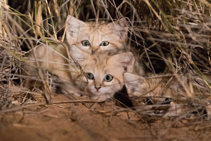 Sand cat kittens in the Morroco wilderness