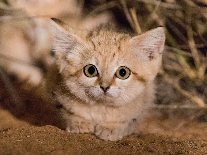 A sand cat kitten in the wild