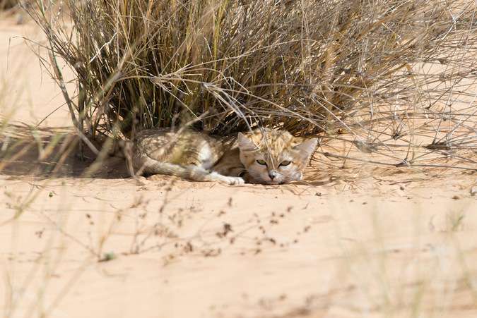 A sand cat in the wilderness of Morocco