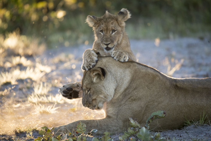 Sepo's cub jumps on her in Liuwa Plain National Park, Zambia