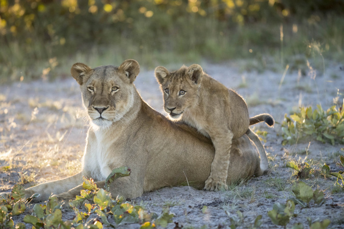 Sepo and her cub playing in Liuwa Plain National Park, Zambia