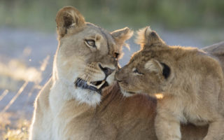 Sepo and her playful cub in Liuwa Plain National Park, Zambia