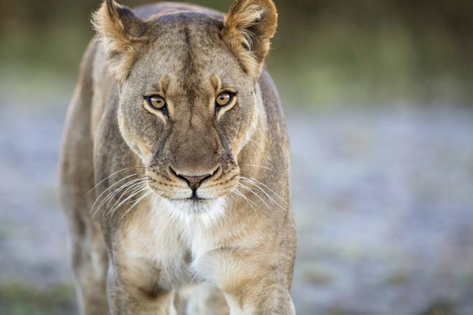 Sepo the lioness in Liuwa Plain National Park, Zambia