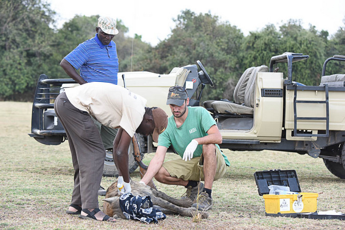 Helping out a hyena in need in Zambia