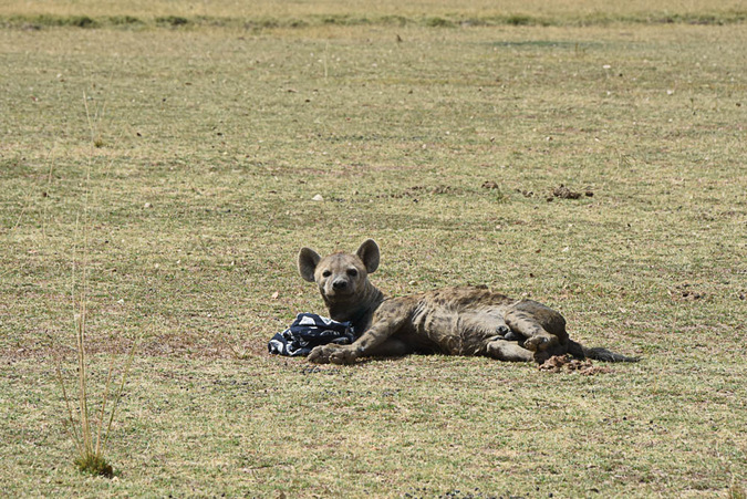 Hyena wakes up from being sedated