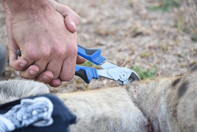 Removing a wire snare from a hyena's neck