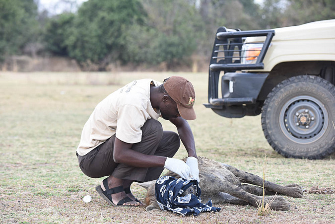 A hyena receives help removing a wire snare