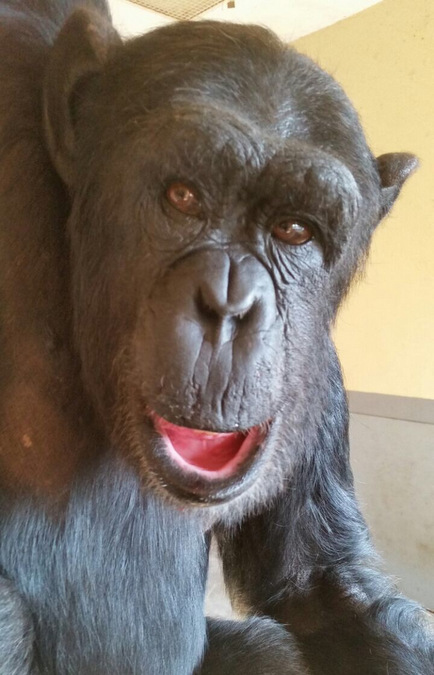 Claude the male chimpanzee