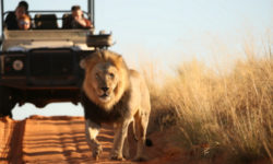 Black-maned lion in the Kalahari