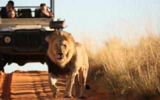 Black-maned lion in the Kalahari