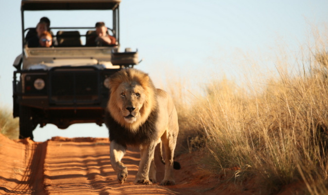 Black-maned lion walking with game drive vehicle in the background