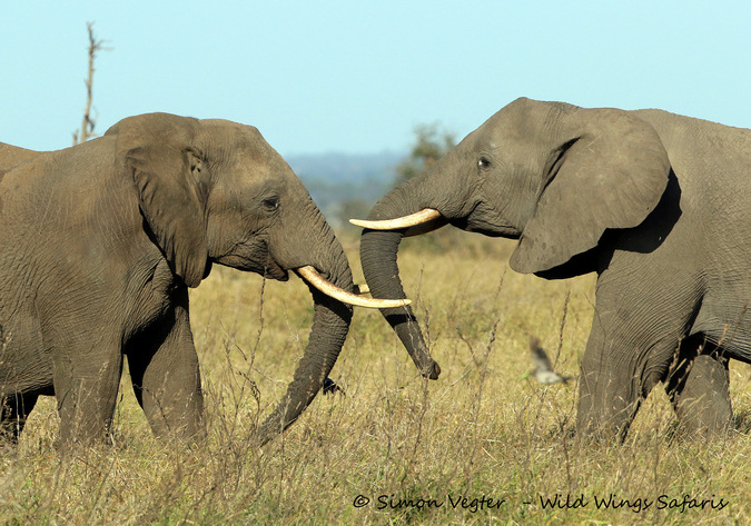 Elephants and their trunks