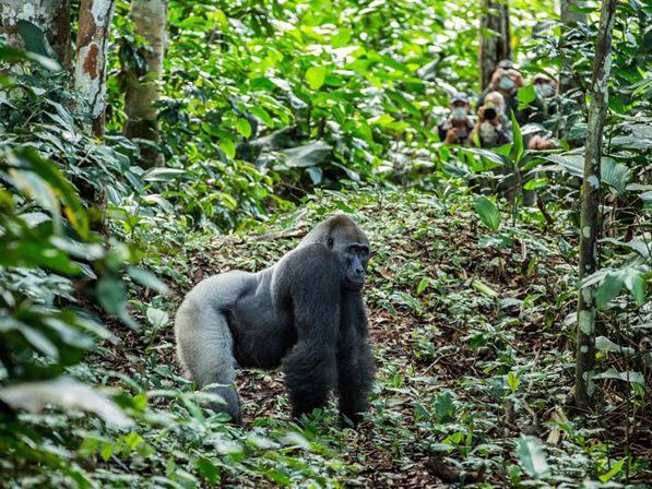 ODZALA-gorilla