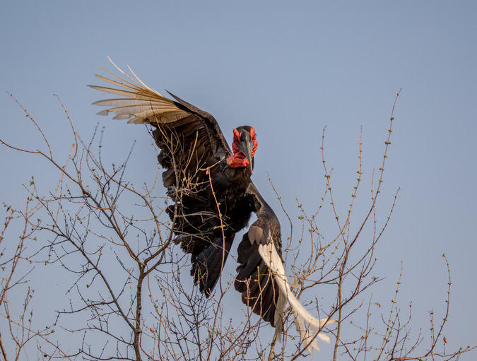 Southern ground-hornbill in a tree in Kruger