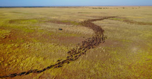 Aerial view of wildebeest migration in Zambia © Andrew Macdonald