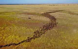 Aerial view of wildebeest migration in Zambia © Andrew Macdonald