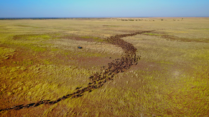 Aerial view of wildebeest migration in Zambia