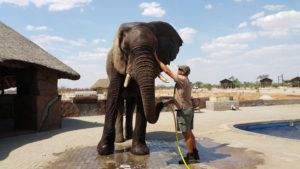 Benny the elephant © Water for Elephants Trust