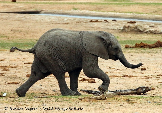 A baby elephant running