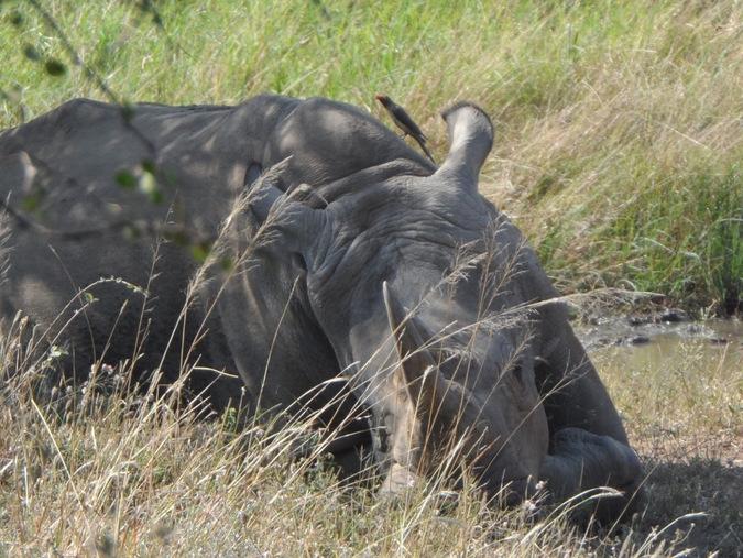 A white rhino resting