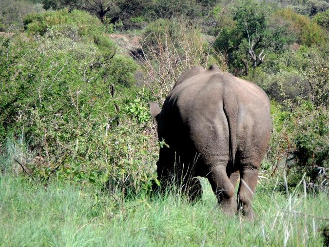 White rhino from behind