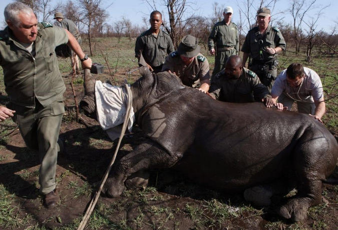 A white rhino under general anaesthesia