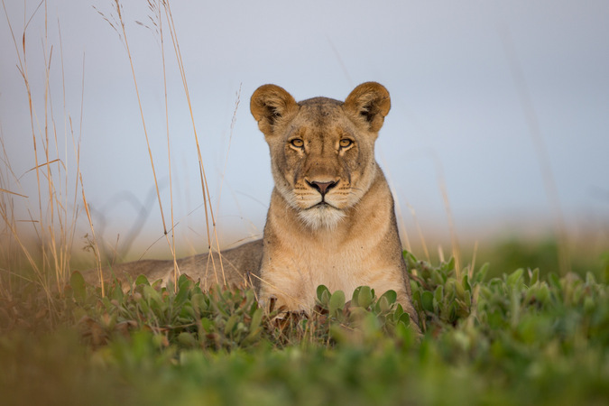 A regal photo of Sepo in Liuwa Plain National Park, Zambia